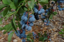 2011_blueberry-2
